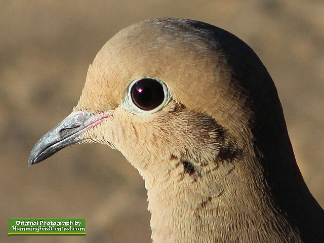 Up close and personal with a beautiful Mourning Dove