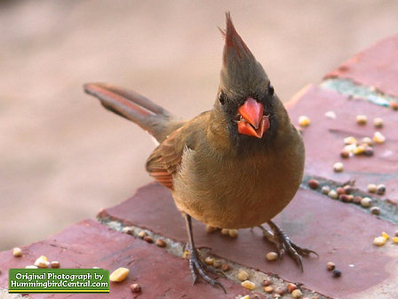 A beautiful female Northern Cardinal enjoys bird seed during the winter in our backyard sanctuary