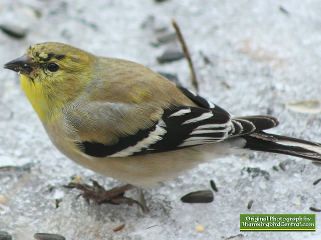 Goldfinch ... surviving in a brutal winter