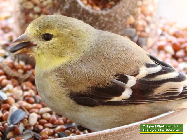 Goldfinch enjoying a black sunflower seed