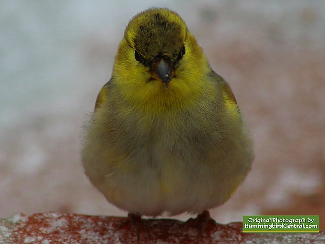 Head-on view of a Goldfinch on a gray winter day