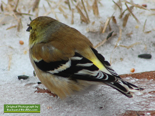 Goldfinch resting on a cold winter day