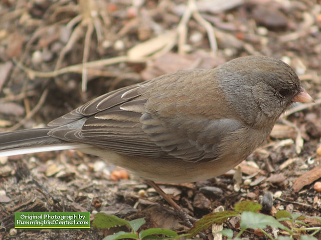 Junco in the backyard