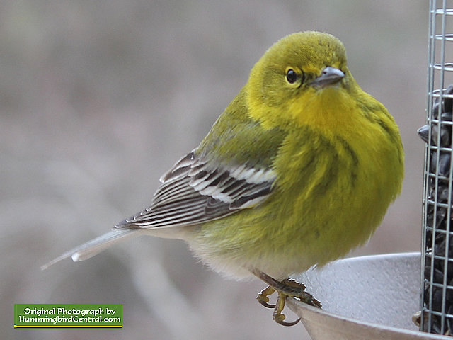 Up close and personal with a lovely Pine Warbler