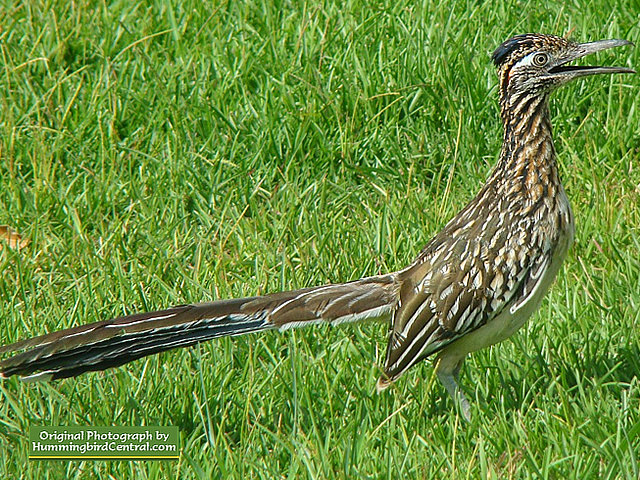 The incredible Roadrunner ... looking for lunch during the summer