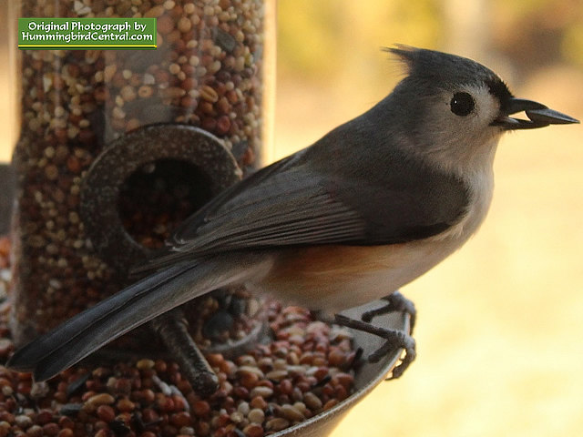 Titmouse at the bird feeder