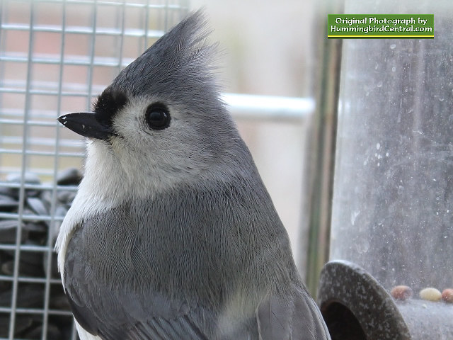 A beautiful Titmouse up-close and personal