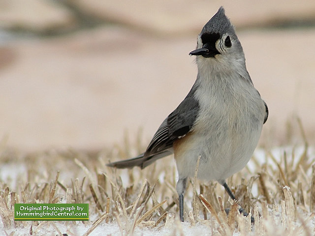 Titmouse braving the hostility of a harsh winter and snow