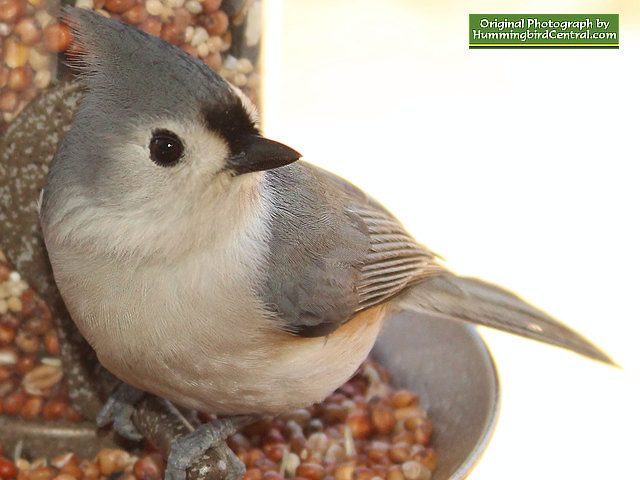 Titmouse at rest in the bird feeder