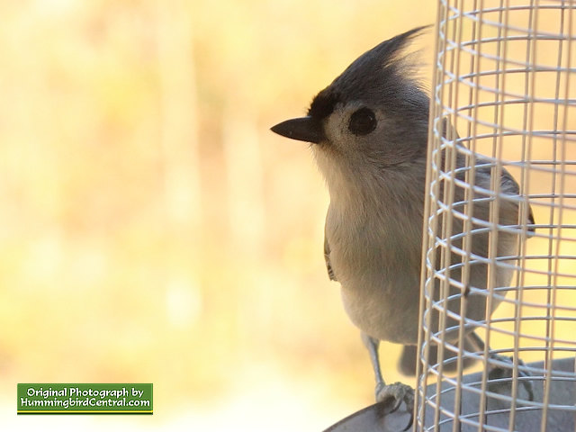 Titmouse ... alert for competition!