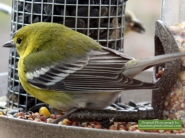 A Pine Warbler on the bird feeder on a cold wintry day
