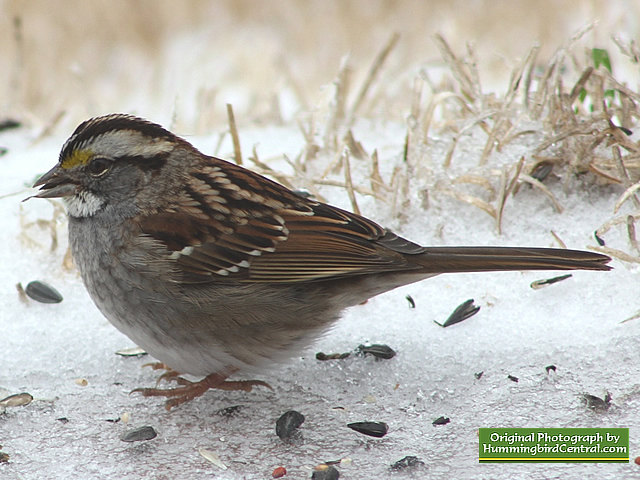 This White Throated Sparrow migrated south for the winter, but maybe not far enough!