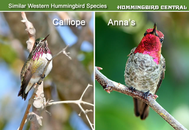 Comparison of the Calliope and Anna's hummingbirds found in the Western US and Canada