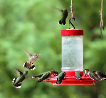 A classic 16-oz First Nature feeder hung at eave-level ... always a favorite of the hummingbirds!