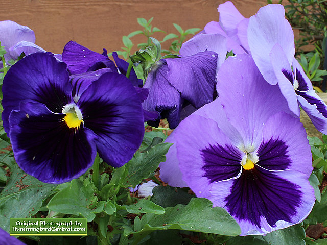 Purple Majestic Giant Pansies