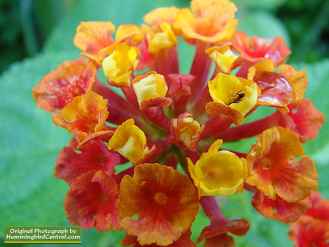 Orange and Red Lantana