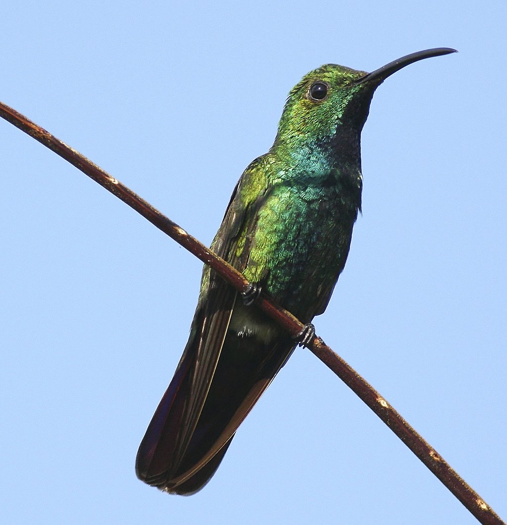 Green-Breasted Mango Hummingbird