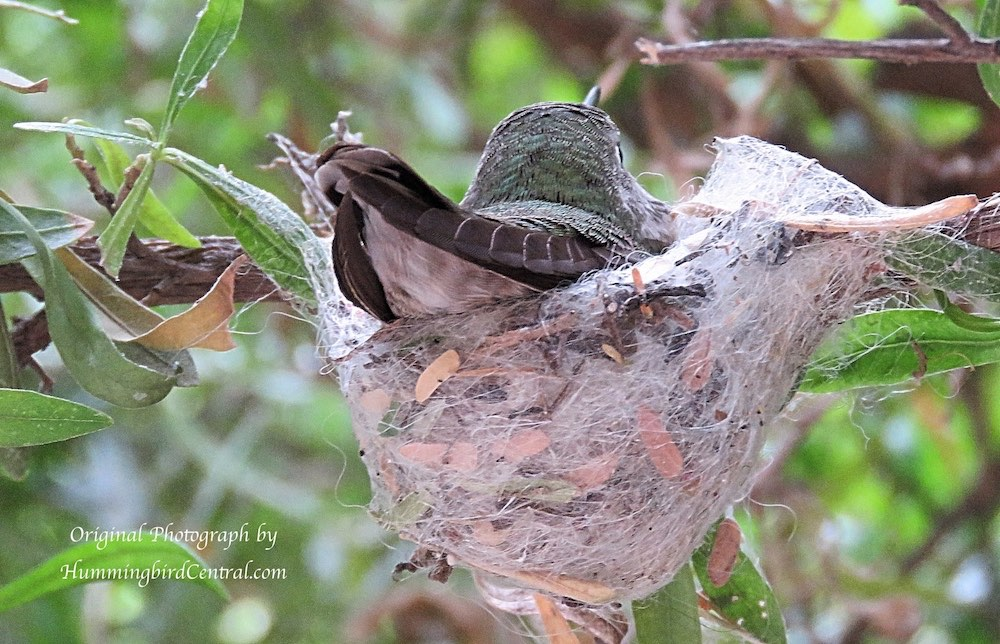 Hummingbird nest at the Arizona-Sonora Desert Museum in Tucson