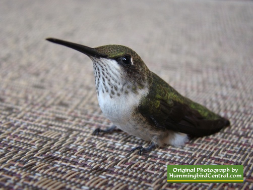 Hummingbird motionless on chair for 4 minutes ... then flew away!! (June 2012)