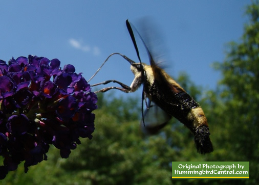 Purple Butterfly Bush with a Hummingbird Moth