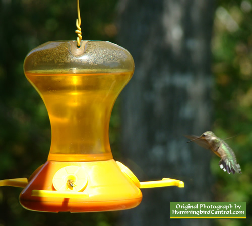 photo of Ruby Throat Hummingbird on Oriole feeder in Tyler Texas
