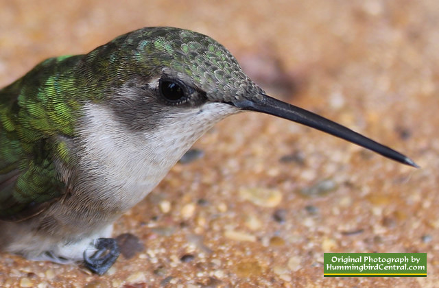 Ruby-Throated Hummingbird ... sitting stunned after flying into a window ... it was fine, and flew off!