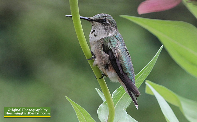 Ruby-Throated Hummingbird resting between stops at the feeder
