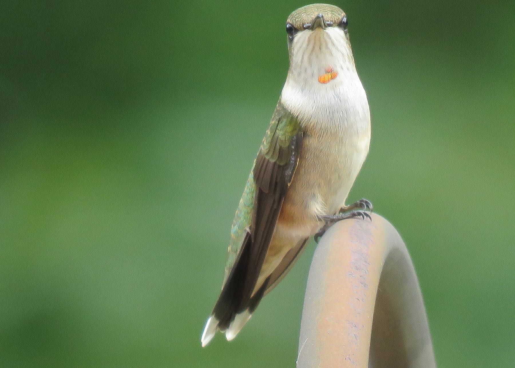Young male Ruby-Throated Hummingbird ... at Rest!