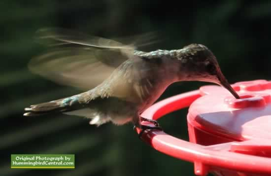 Ruby-Throated Hummingbird feeding ... and hovering!