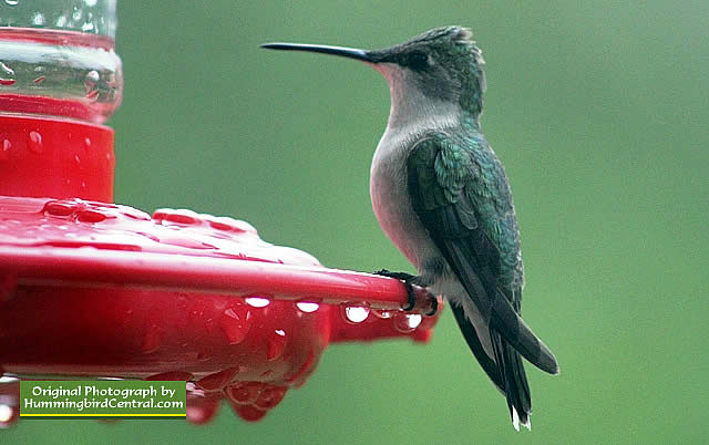 Ruby-Throated Hummingbird waiting patiently on its feeder