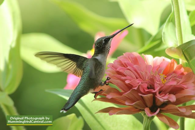 Ruby-Throated Hummingbird feeding on a pink Giant Zinnia, August 12, 2015, in East Texas