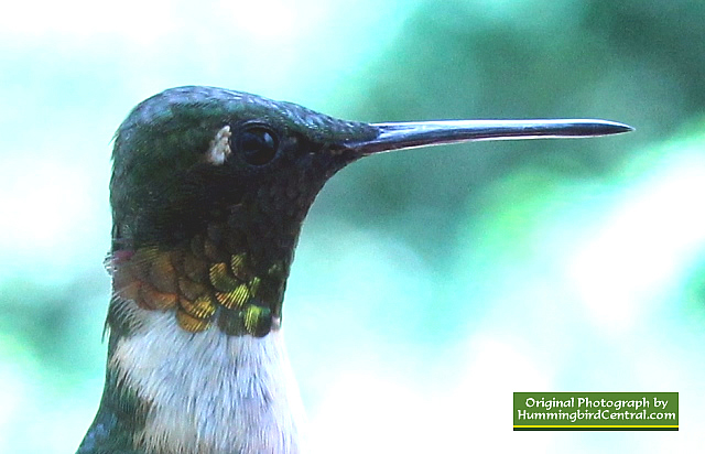 Up close and personal with a mature, male Ruby-Throated Hummingbird