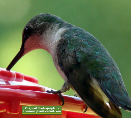 Up-close hummingbird feeding in Texas