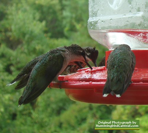 Group of Ruby Throat Hummingbirds at feeder - East Texas