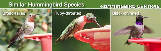 Comparison of the Broad-tailed, Ruby-throated and Black-chinned hummingbirds
