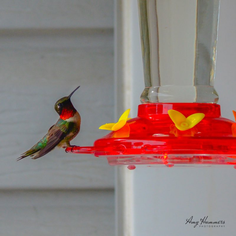 Ruby-throated Hummingbird on a feeder near Catonsville, Maryland