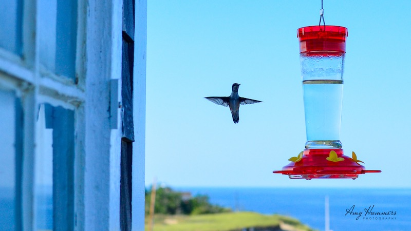 Ruby-throated Hummingbird hovering at a feeder near Cape Cod, MA