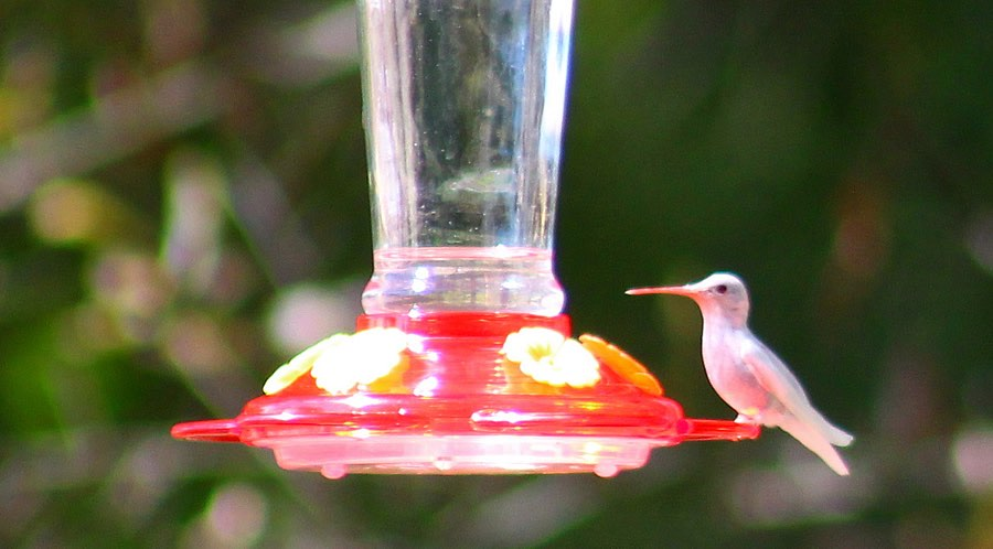 White Ruby-throated Hummingbird - Sardis, Mississippi