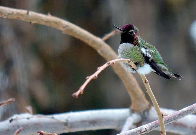 Anna's Hummingbird in Washinton state in winter