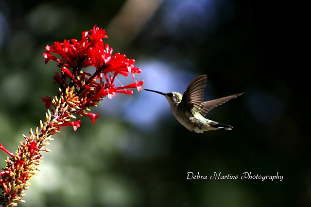 Beautiful Hummingbird Feeding on Firespike... courtesy of Debra Martins Photography