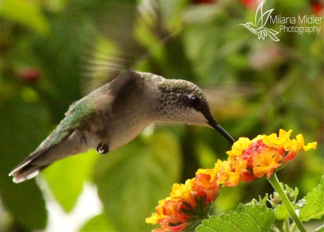 Hummingbird in Illinois