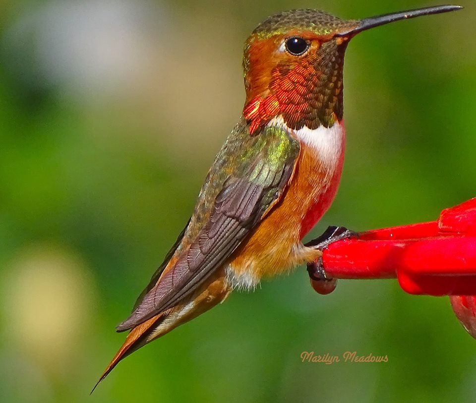 Allen's Hummingbird ... from Marily Meadows Photography