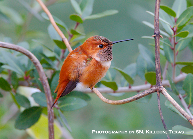 Rufous Hummingbird in Texas